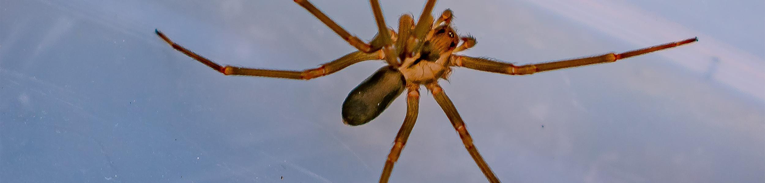 Brown-Resluce-Spider-AFTER