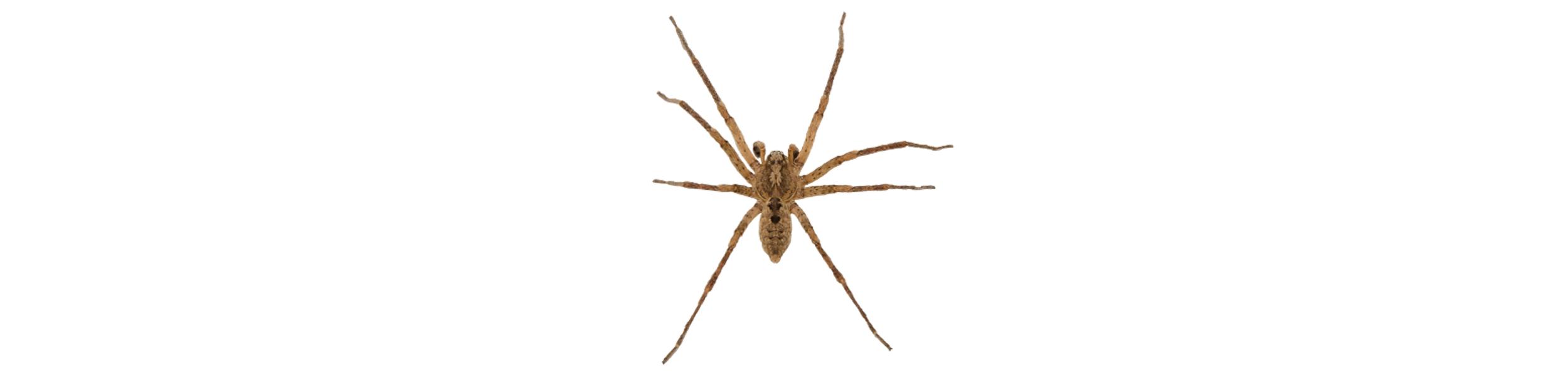 Brown-Resluce-Spider-BEFORE
