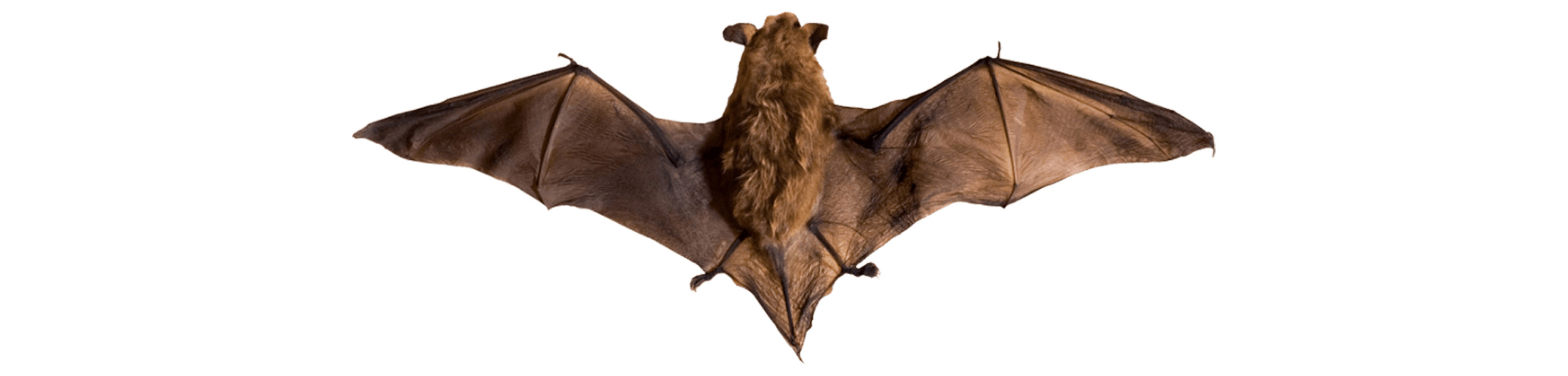 ACE Exterminating-Pest-Control-Bats-Header