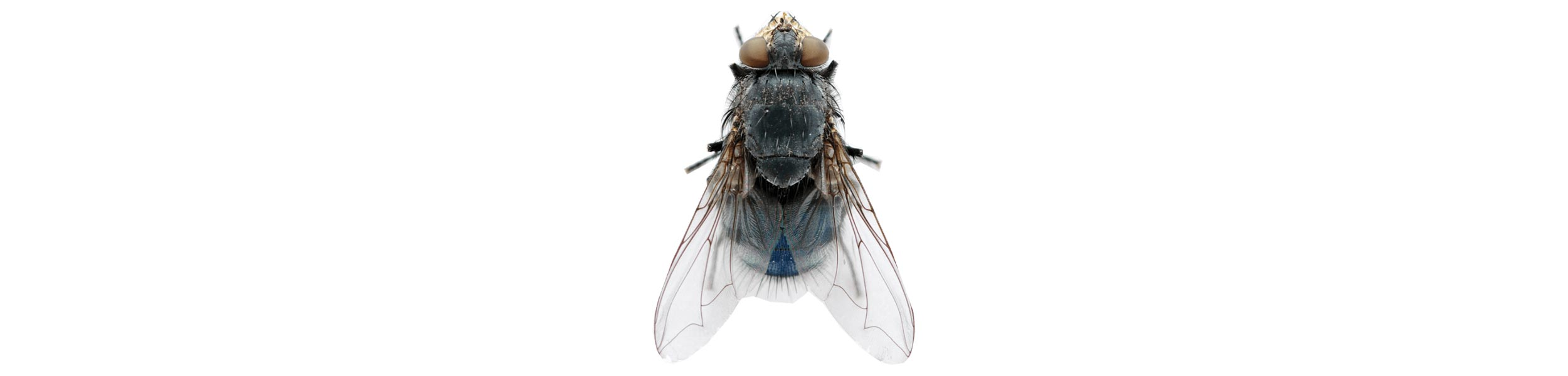 ACE Exterminating-Pest-Control-Fly-Header