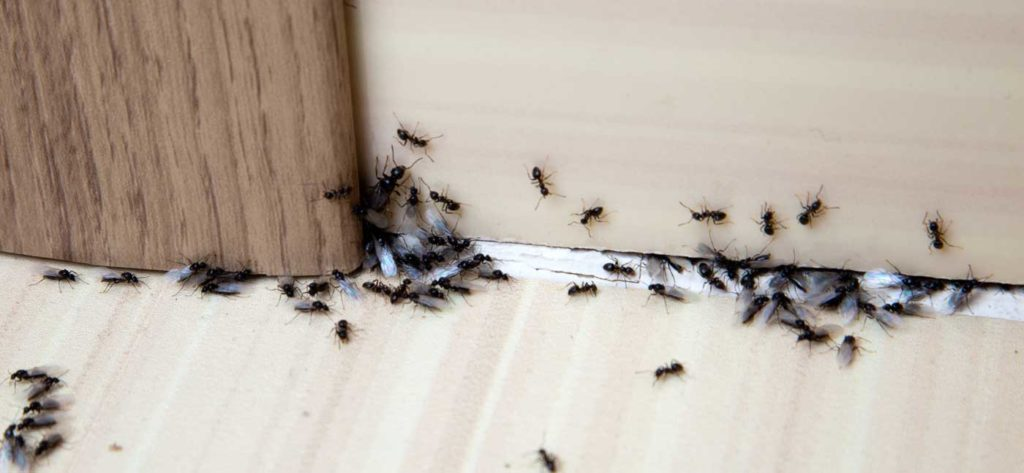 OPC Pest Control - Home Slider - Ants Infest Your Home
