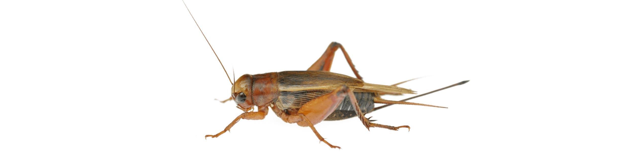 ACE Exterminating-Pest-Services-Cricket-Header