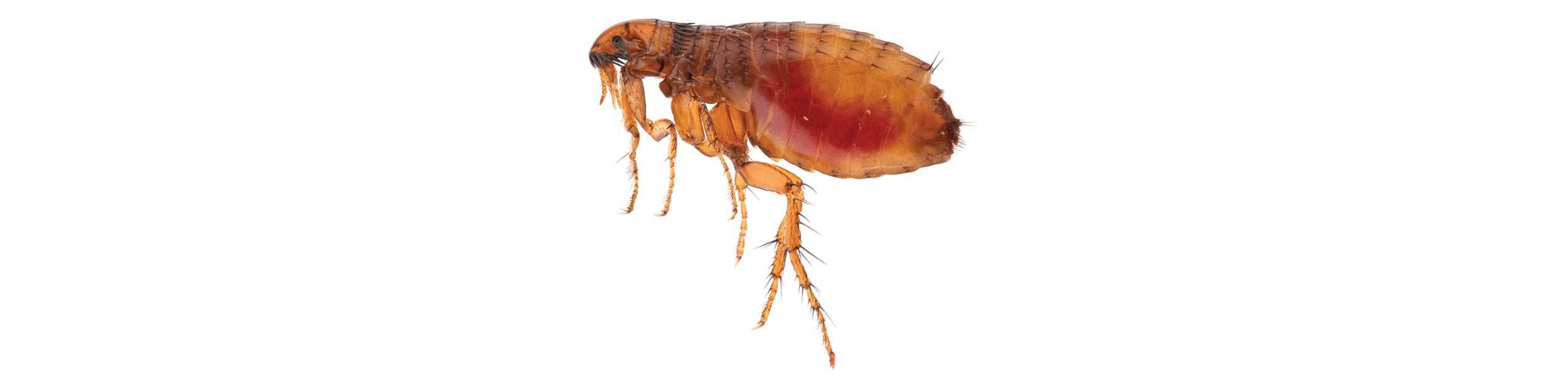 ACE Exterminating-Pest-Services-Flea-Header