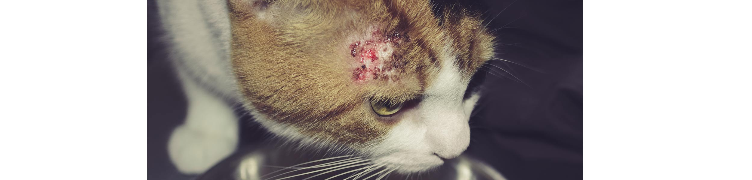 ACE Exterminating-Pest-Services-Fleas-Cat-Skin-Damage-Header