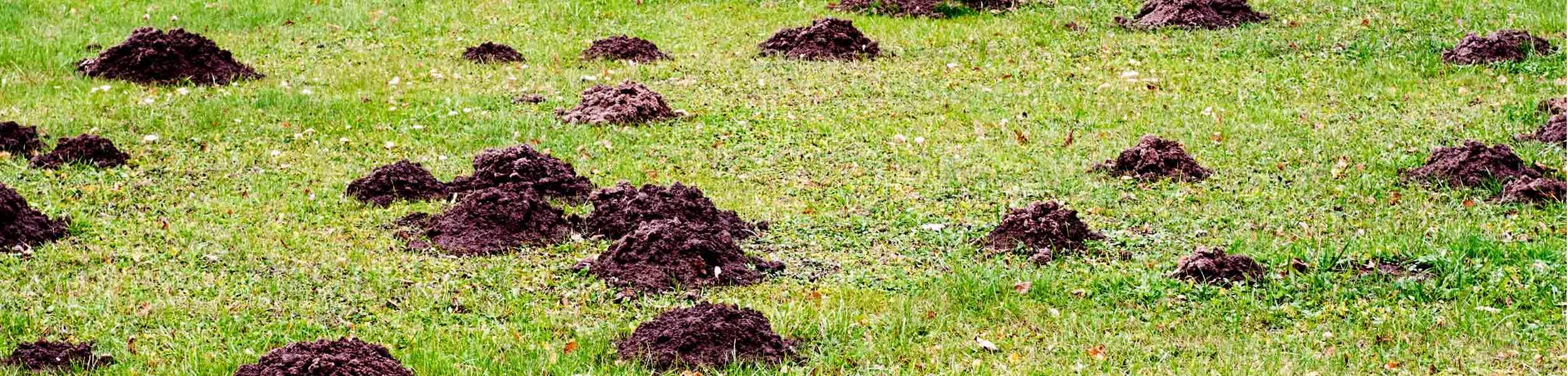 ACE Exterminating-Pest-Services-Moles-Mole-Damaged-Yard-Header