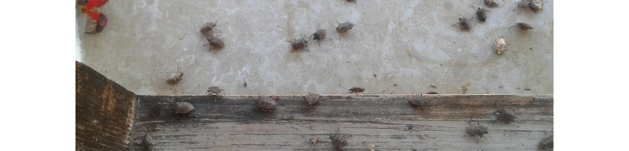 ACE Exterminating-Pest-Services-Stink-Bug-Infestation-Home-Wall-Ceiling-Header